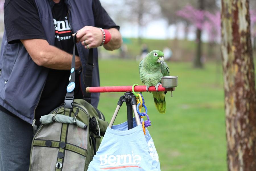 Midler, a service parrot, waits for an apple from Sanders supporter Al Rheinheimer Thursday in the Free Speech Zone.